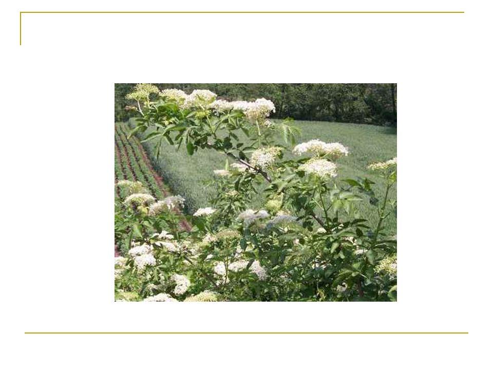 Chaber bławatek Chaber bławatek (modrak, wasiłek, wołoszka, jasieniec, głowacz) gatunek rośliny jednorocznej z rodziny astrowatych.