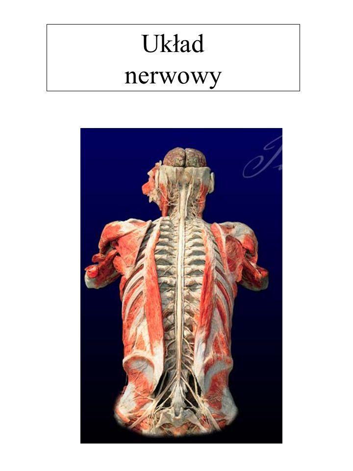 Rogi przednie: zgrupowane są tu neurony ruchowe, których wypustki unerwiają komórki mięśniowe.