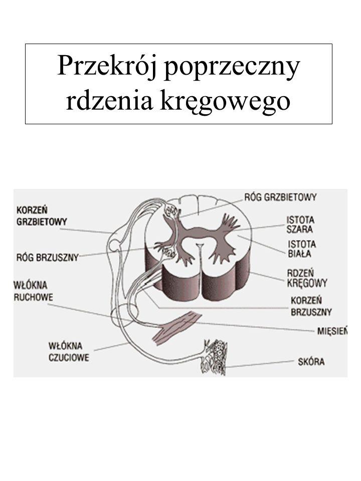 Przekrój poprzeczny rdzenia kręgowego