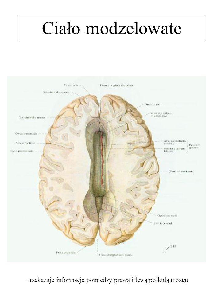 Ciało modzelowate Przekazuje informacje pomiędzy prawą i lewą półkulą mózgu