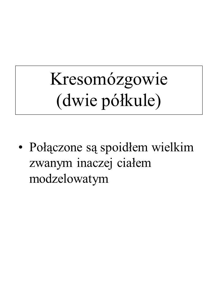 Kresomózgowie (dwie półkule) Połączone są spoidłem wielkim zwanym inaczej ciałem modzelowatym