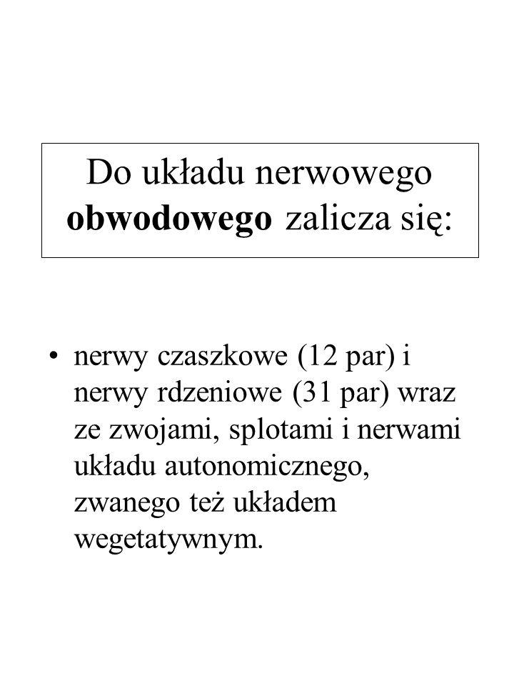 Do układu nerwowego obwodowego zalicza się: nerwy czaszkowe (12 par) i nerwy rdzeniowe (31 par) wraz ze zwojami, splotami i nerwami układu autonomiczn