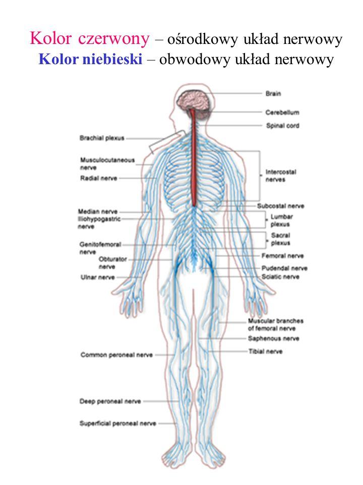 Kolor czerwony – ośrodkowy układ nerwowy Kolor niebieski – obwodowy układ nerwowy