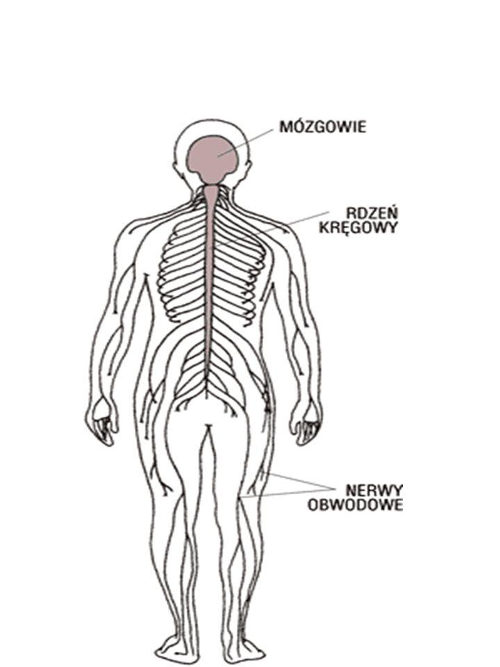 Komórka nerwowa (neuron)