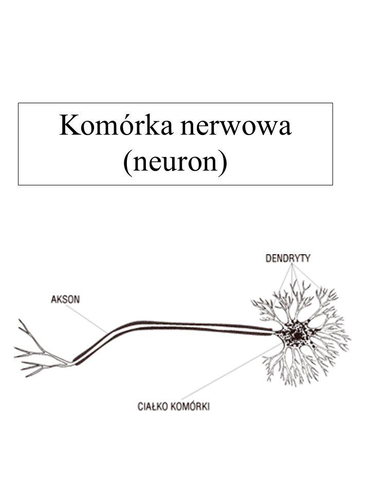W obrębie komórki nerwowej wyróżnia się ciało komórki dwa rodzaje wypustek: wypustkę długą (akson) i liczne wypustki krótkie (dendryty).
