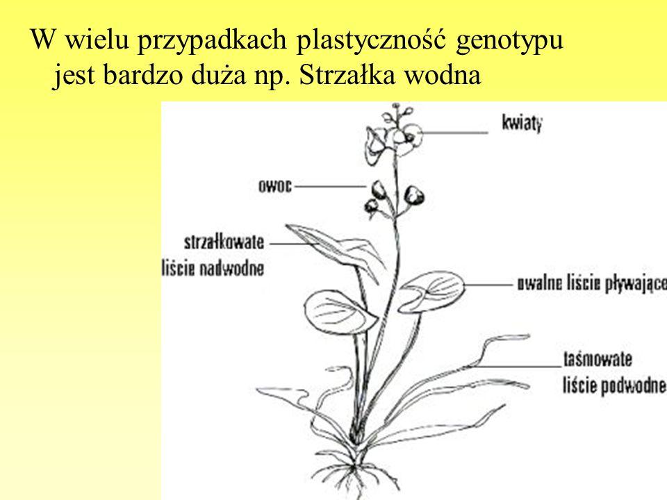 W wielu przypadkach plastyczność genotypu jest bardzo duża np. Strzałka wodna