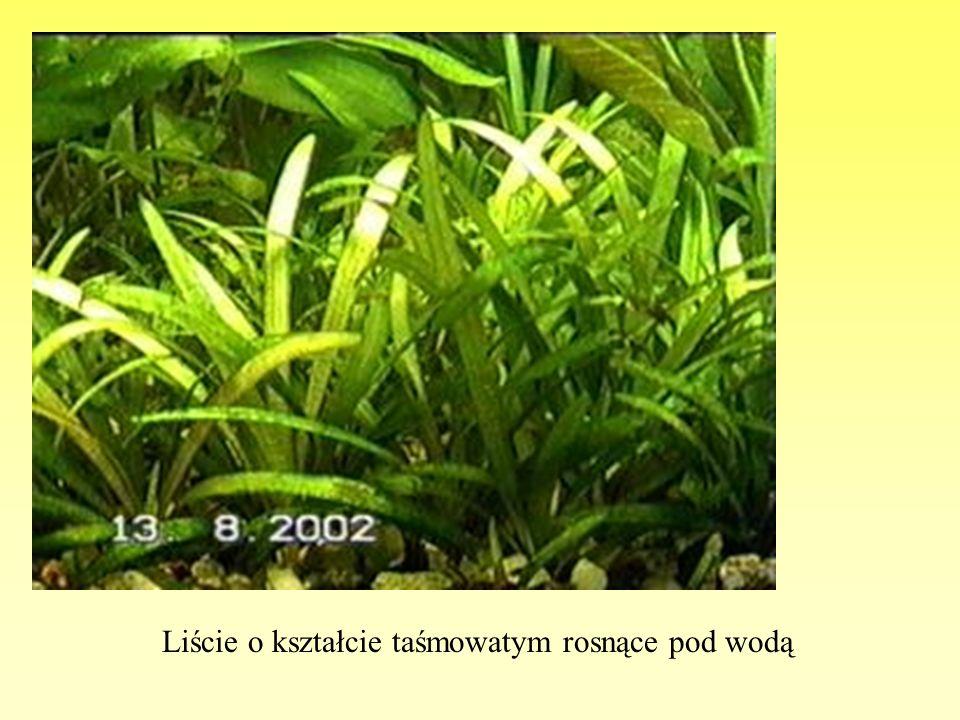 Liście o kształcie sercowatym rosnące na powierzchni wody