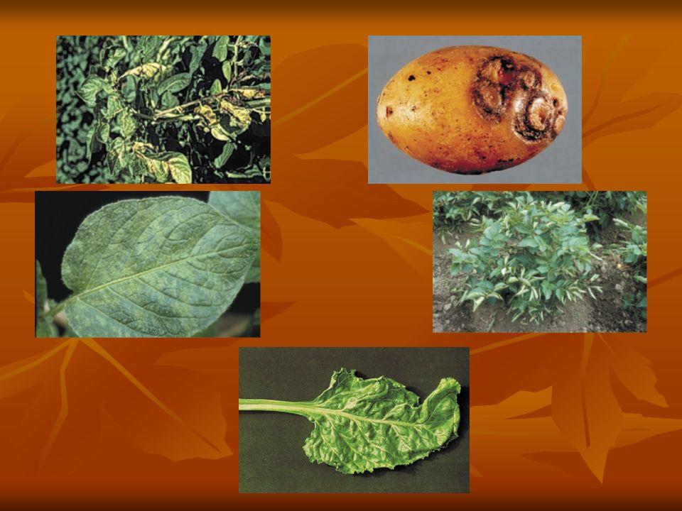 Na plantacji ziemniaków w twoim gospodarstwie wystąpiła smugowatość ziemniaka.