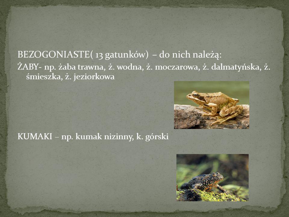 BEZOGONIASTE( 13 gatunków) – do nich należą: ŻABY- np. żaba trawna, ż. wodna, ż. moczarowa, ż. dalmatyńska, ż. śmieszka, ż. jeziorkowa KUMAKI – np. ku