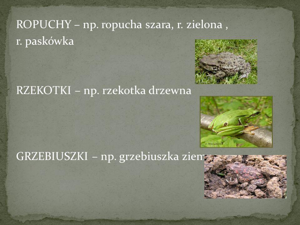 ROPUCHY – np. ropucha szara, r. zielona, r. paskówka RZEKOTKI – np. rzekotka drzewna GRZEBIUSZKI – np. grzebiuszka ziemna