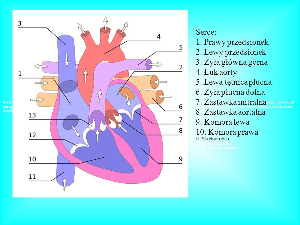 Serce: 1. Prawy przedsionek 2. Lewy przedsionek 3. Żyła główna górna 4. Łuk aorty 5. Lewa tętnica płucna 6. Żyła płucna dolna 7. Zastawka mitralna 8.
