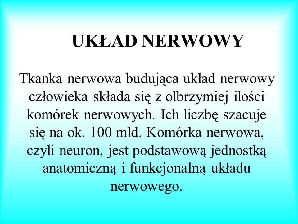UKŁAD NERWOWY Tkanka nerwowa budująca układ nerwowy człowieka składa się z olbrzymiej ilości komórek nerwowych. Ich liczbę szacuje się na ok. 100 mld.
