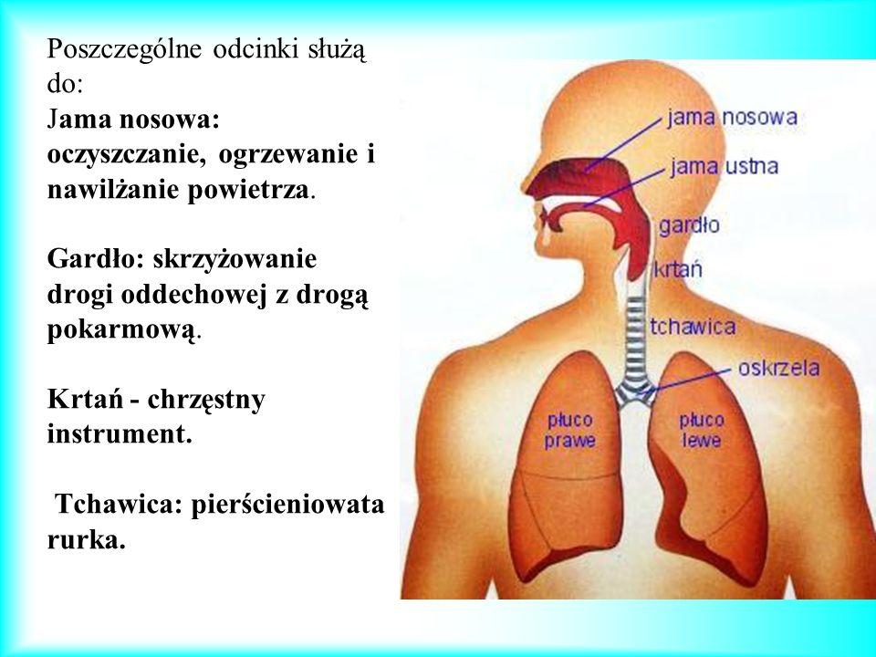 Oskrzela 1.Oskrzela - naturalne przedłużenie tchawicy.