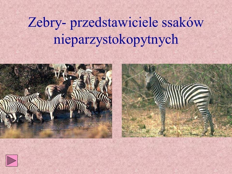 Dominują ssaki Słonie Zebry Nosorożce Antylopy Żyrafy Bawoły
