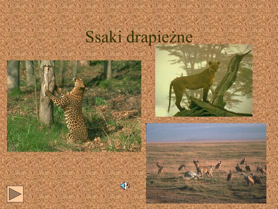 Zebry- przedstawiciele ssaków nieparzystokopytnych