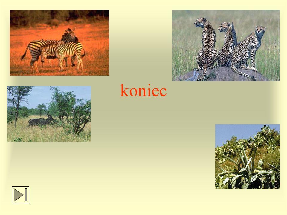 Na sawannie spotyka się też: owady-mrówki i termity strusie gady-węże, gekony, kameleony bawoły indyjskie nosorożce