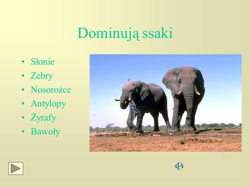 Świat zwierząt Dominacja zwierząt kopytnych Charakterystyczne łączenie się w stada Łańcuch uzależnień ekologicznych:trawy- zwierzęta trawożerne-drapie