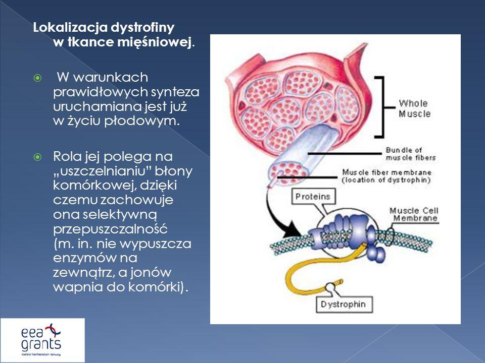 Lokalizacja dystrofiny w tkance mięśniowej. W warunkach prawidłowych synteza uruchamiana jest już w życiu płodowym. Rola jej polega na uszczelnianiu b