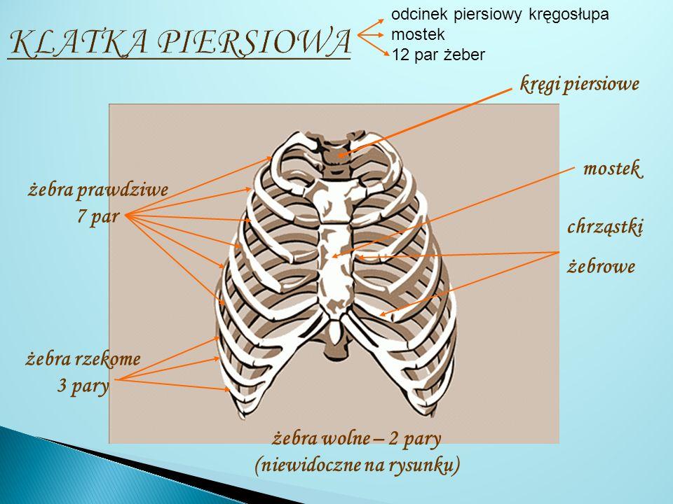 odcinka piersiowego kręgosłupa mostka 12 par żeber odcinka piersiowego kręgosłupa mostka 12 par żeber