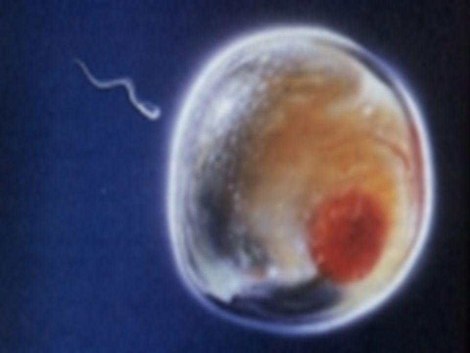 Fetoskopia - wskazania. Ciężkie dziedziczne choroby skóry (epidermoliza,rybia łuska,dysplazja ektodermalna,albinizm) Choroby krwi płodowej (zwłaszcza