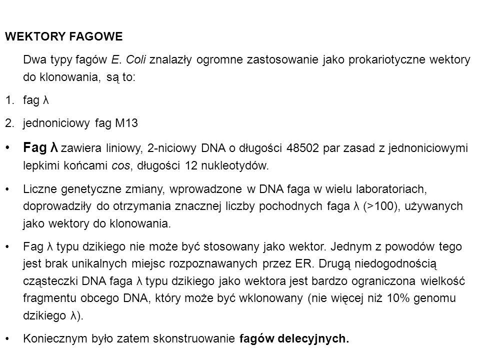 WEKTORY FAGOWE Dwa typy fagów E. Coli znalazły ogromne zastosowanie jako prokariotyczne wektory do klonowania, są to: 1.fag λ 2.jednoniciowy fag M13 F