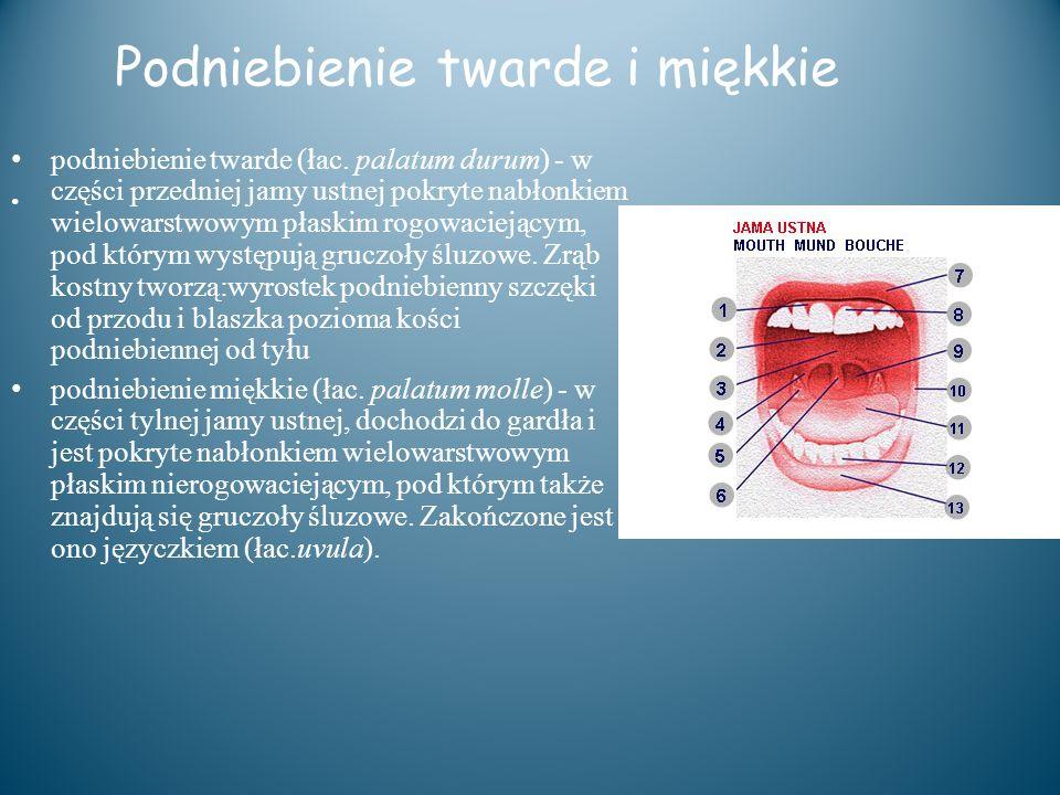 Podniebienie twarde i miękkie podniebienie twarde (łac. palatum durum) - w części przedniej jamy ustnej pokryte nabłonkiem wielowarstwowym płaskim rog