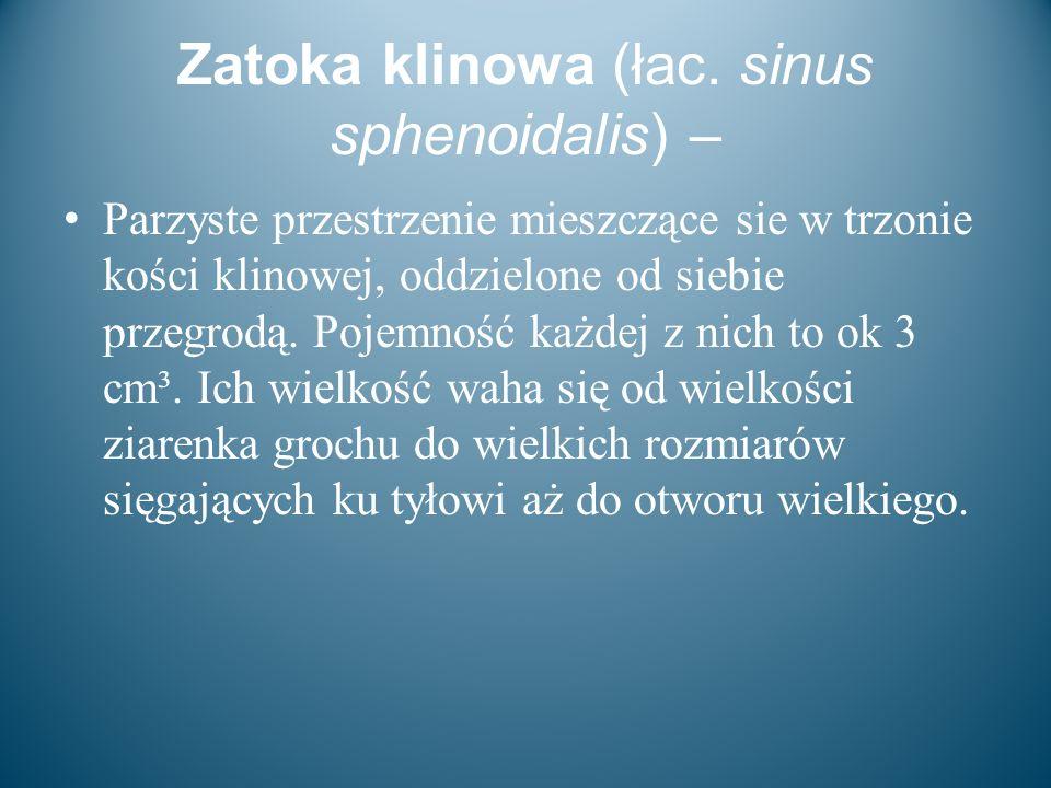 Zatoka klinowa (łac. sinus sphenoidalis) – Parzyste przestrzenie mieszczące sie w trzonie kości klinowej, oddzielone od siebie przegrodą. Pojemność ka