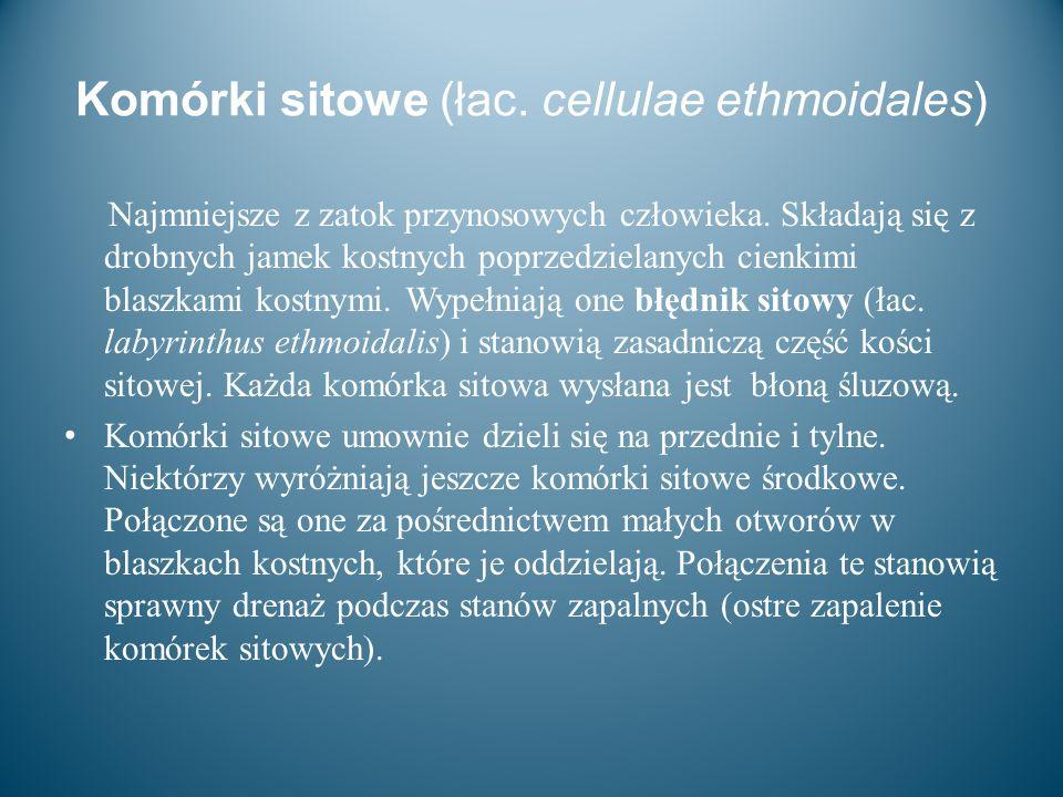 Komórki sitowe (łac. cellulae ethmoidales) Najmniejsze z zatok przynosowych człowieka. Składają się z drobnych jamek kostnych poprzedzielanych cienkim