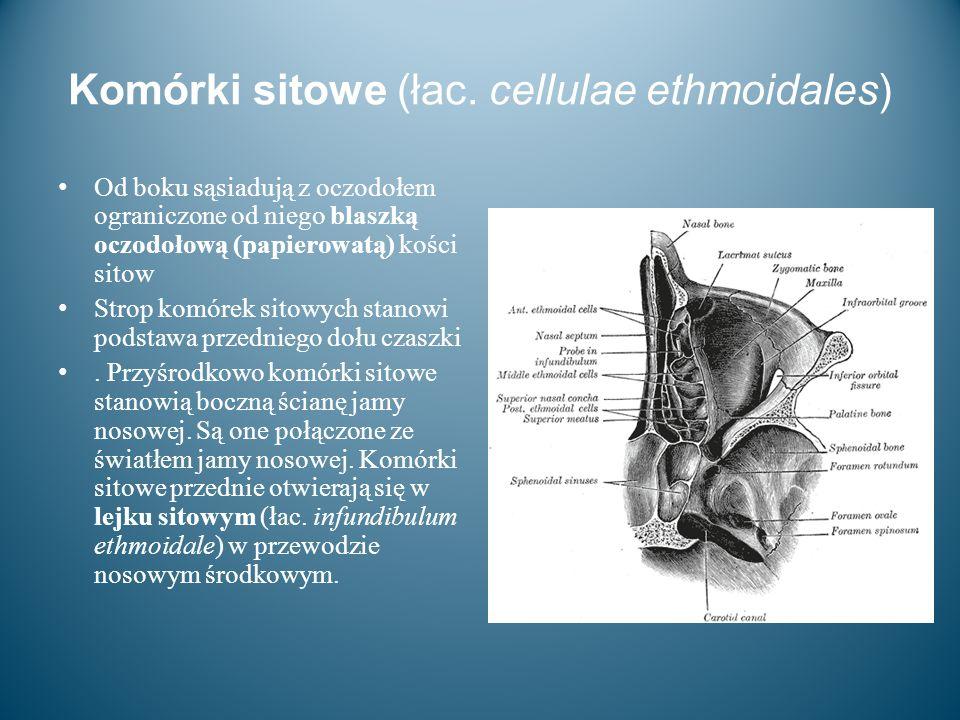 Komórki sitowe (łac. cellulae ethmoidales) Od boku sąsiadują z oczodołem ograniczone od niego blaszką oczodołową (papierowatą) kości sitow Strop komór