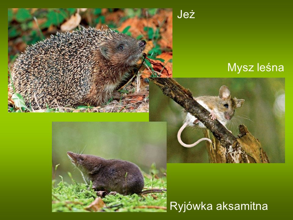 Jeż Mysz leśna Ryjówka aksamitna