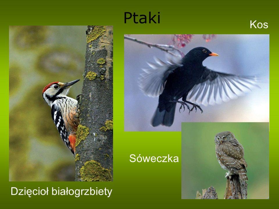 Ptaki Dzięcioł białogrzbiety Kos Sóweczka