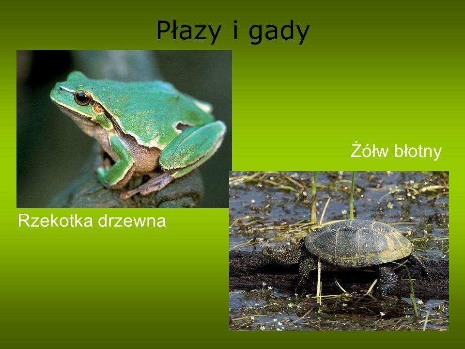 Płazy i gady Rzekotka drzewna Żółw błotny