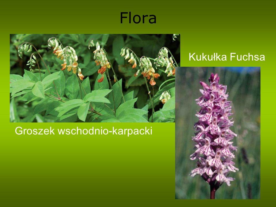 Flora Groszek wschodnio-karpacki Kukułka Fuchsa