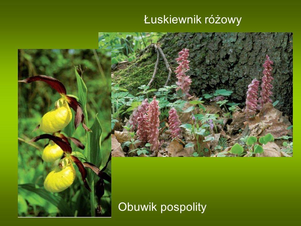 Obuwik pospolity Łuskiewnik różowy