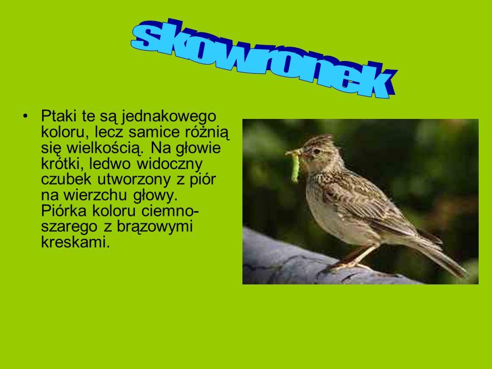 Ptaki te są jednakowego koloru, lecz samice różnią się wielkością. Na głowie krótki, ledwo widoczny czubek utworzony z piór na wierzchu głowy. Piórka