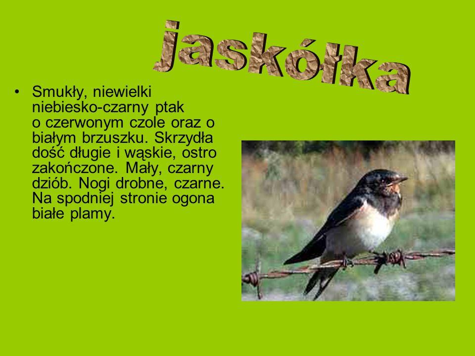 Smukły, niewielki niebiesko-czarny ptak o czerwonym czole oraz o białym brzuszku. Skrzydła dość długie i wąskie, ostro zakończone. Mały, czarny dziób.