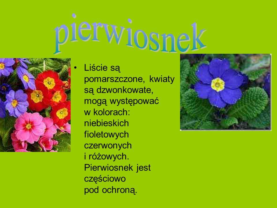 Liście są pomarszczone, kwiaty są dzwonkowate, mogą występować w kolorach: niebieskich fioletowych czerwonych i różowych. Pierwiosnek jest częściowo p