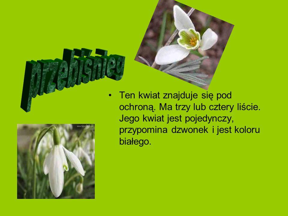 Ten kwiat znajduje się pod ochroną. Ma trzy lub cztery liście. Jego kwiat jest pojedynczy, przypomina dzwonek i jest koloru białego.