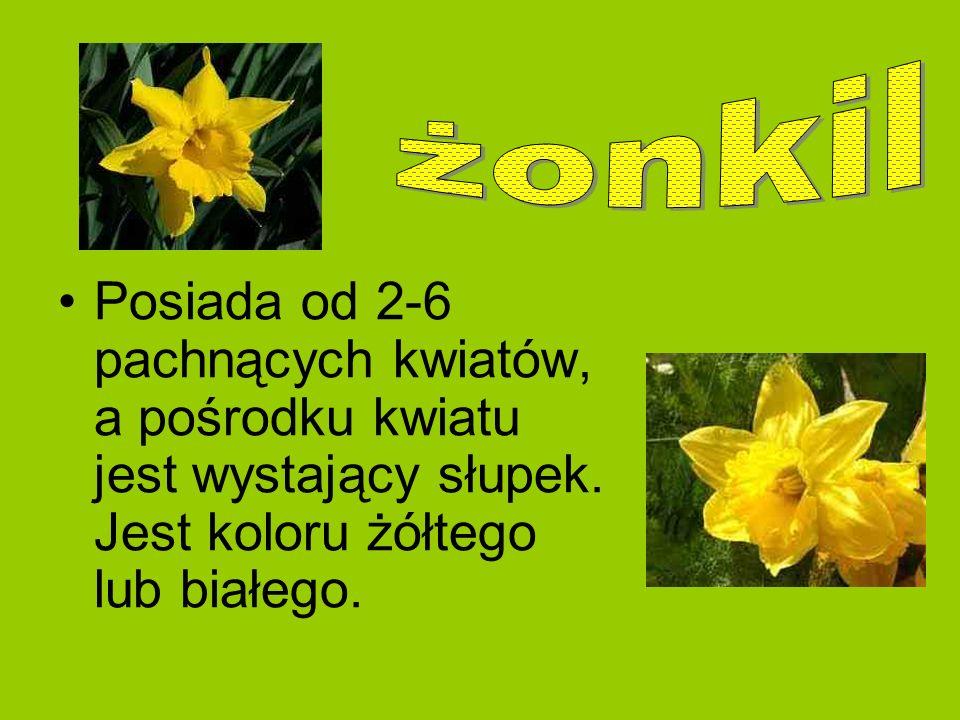 Posiada od 2-6 pachnących kwiatów, a pośrodku kwiatu jest wystający słupek. Jest koloru żółtego lub białego.
