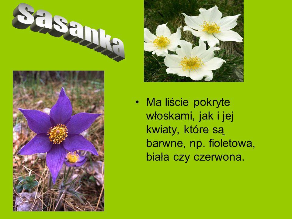 Liście tego kwiatu są ciemnozielone i gładkie.Kwiat jest koloru niebiesko- fioletowego.