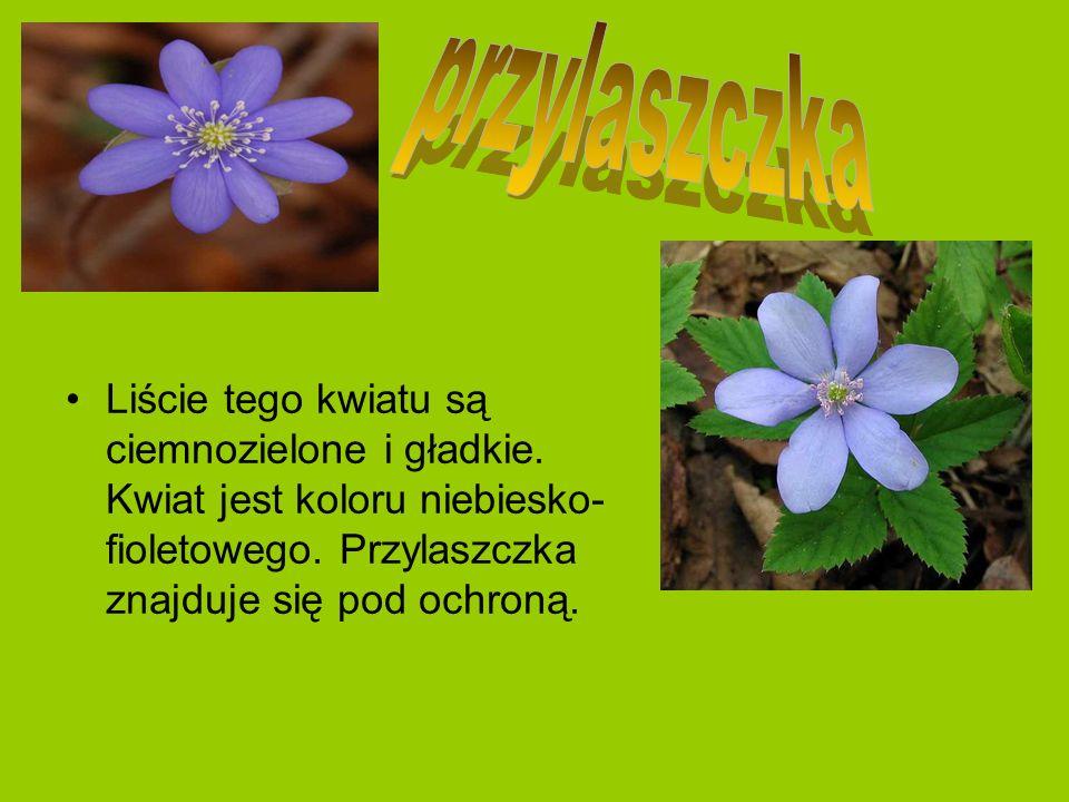 Liście tego kwiatu są ciemnozielone i gładkie. Kwiat jest koloru niebiesko- fioletowego. Przylaszczka znajduje się pod ochroną.