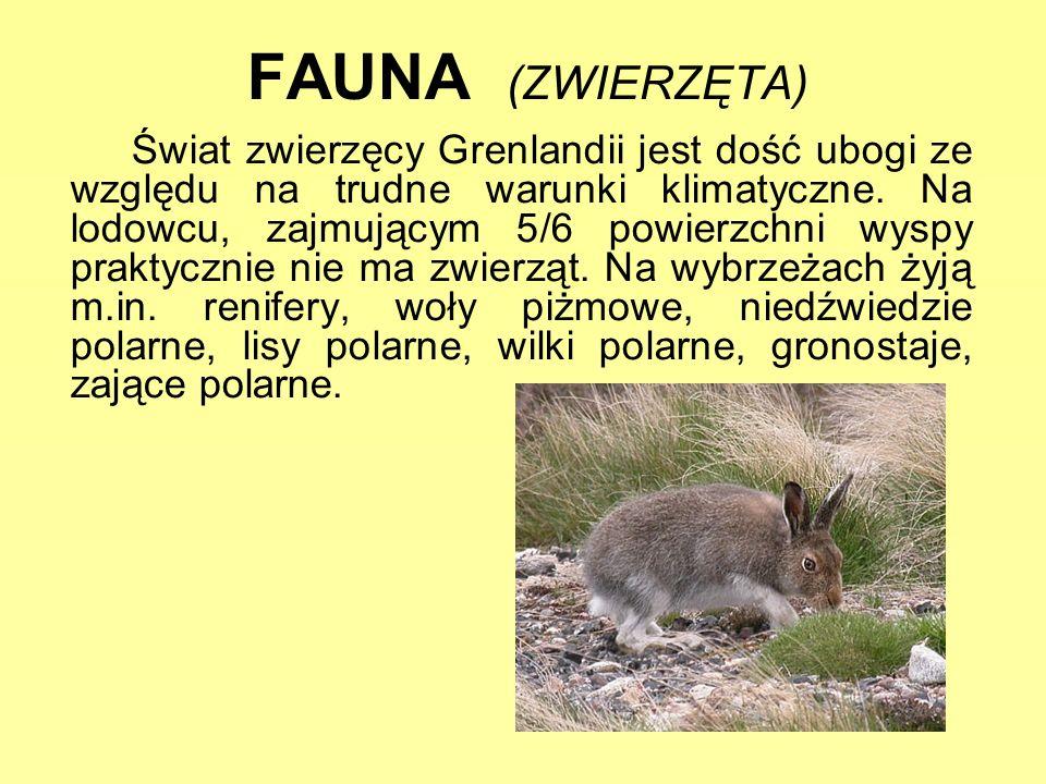 FAUNA (ZWIERZĘTA) Świat zwierzęcy Grenlandii jest dość ubogi ze względu na trudne warunki klimatyczne. Na lodowcu, zajmującym 5/6 powierzchni wyspy pr