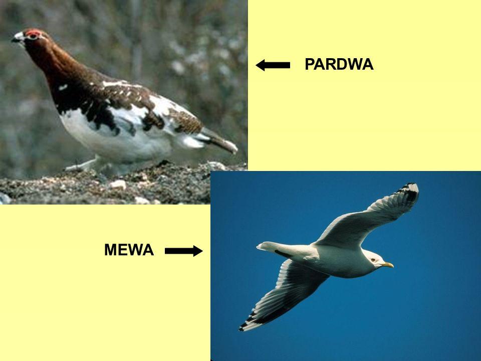 PARDWA MEWA