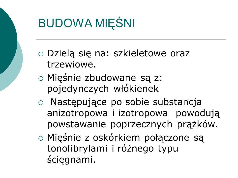 BUDOWA MIĘŚNI Dzielą się na: szkieletowe oraz trzewiowe. Mięśnie zbudowane są z: pojedynczych włókienek Następujące po sobie substancja anizotropowa i