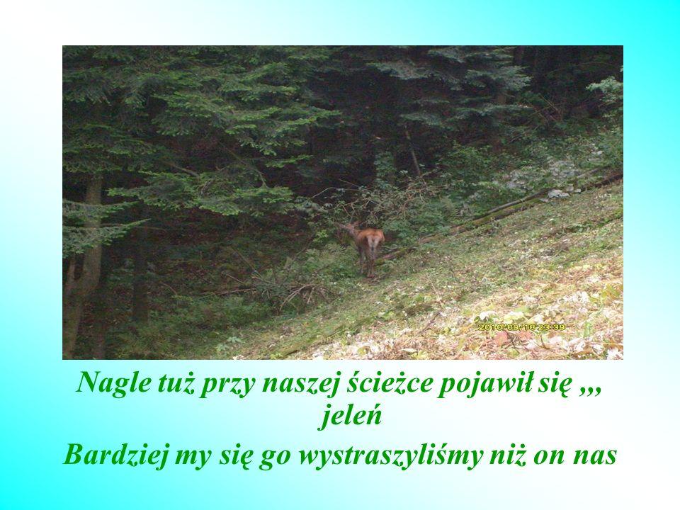 Nagle tuż przy naszej ścieżce pojawił się,,, jeleń Bardziej my się go wystraszyliśmy niż on nas
