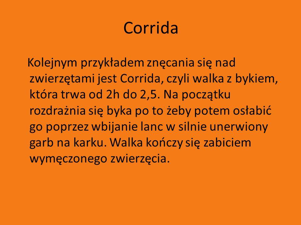 Corrida Kolejnym przykładem znęcania się nad zwierzętami jest Corrida, czyli walka z bykiem, która trwa od 2h do 2,5. Na początku rozdrażnia się byka