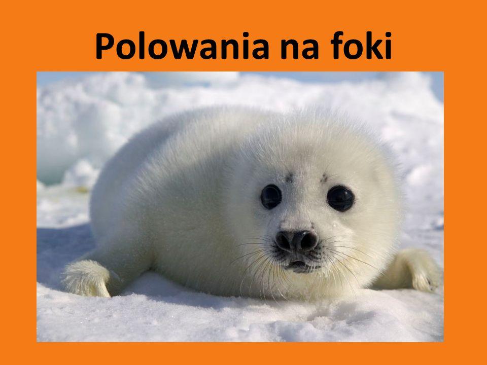 Na foki poluje się głównie w Kanadzie, Norwiegii i Islandii.