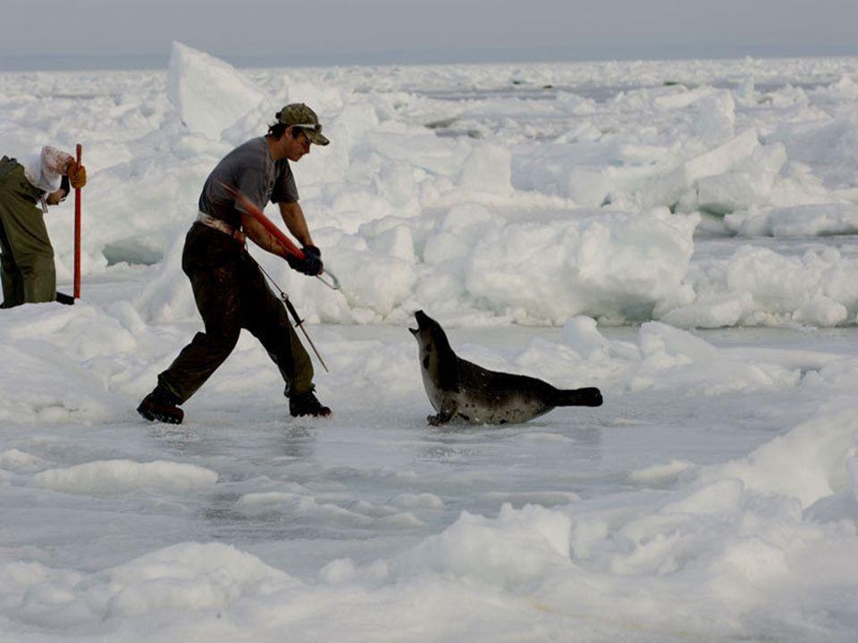W wyniku zadanych obrażeń nie wszystkie foki umierają od razu.