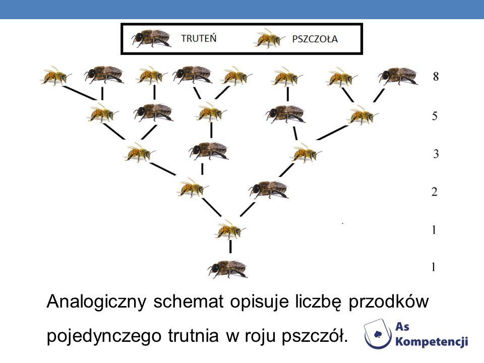 Analogiczny schemat opisuje liczbę przodków pojedynczego trutnia w roju pszczół.