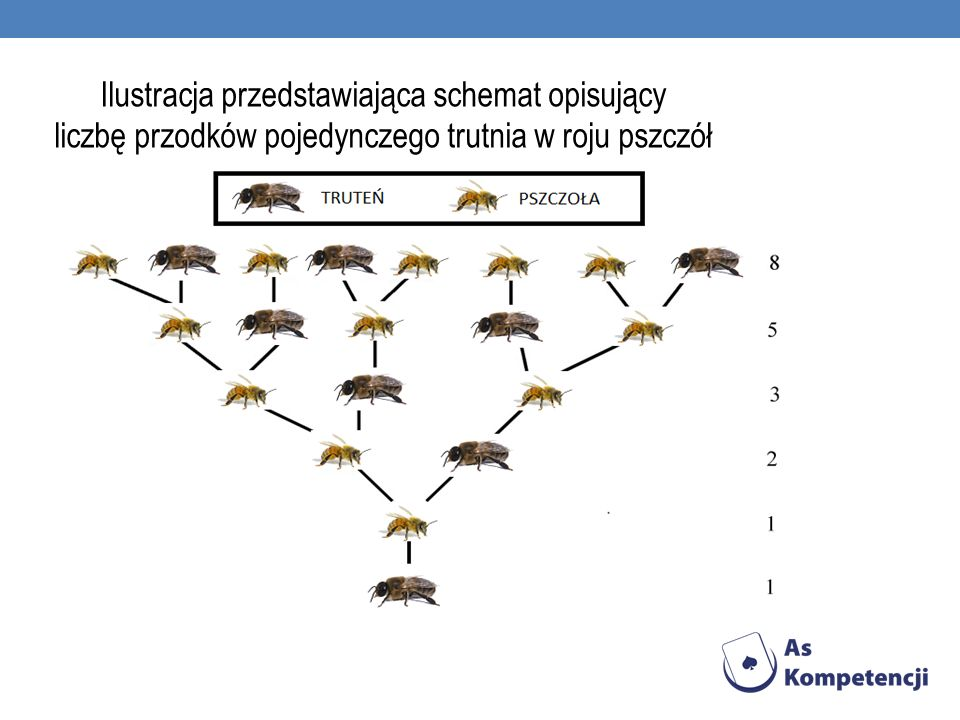 Ilustracja przedstawiająca schemat opisujący liczbę przodków pojedynczego trutnia w roju pszczół